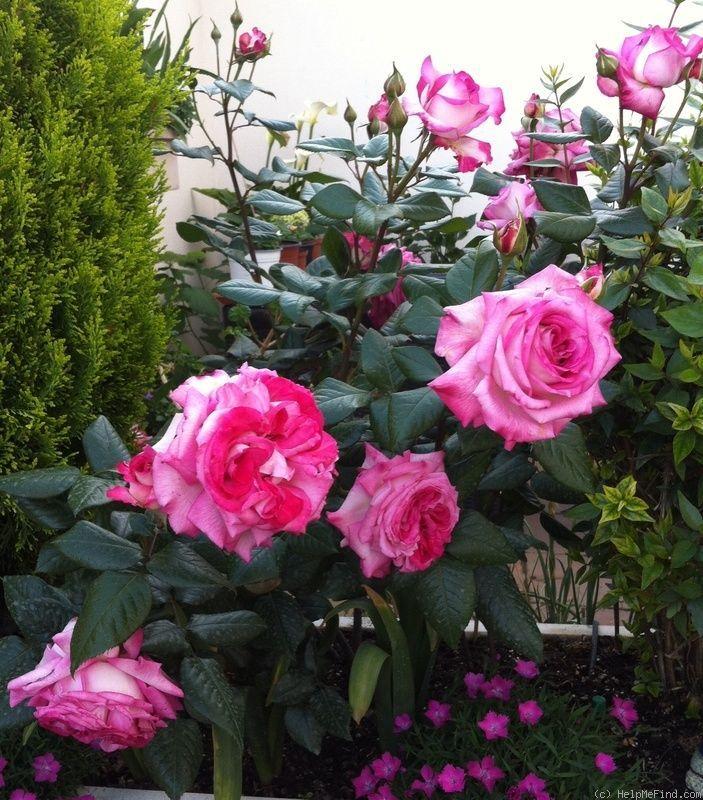 Growing roses in brisbane