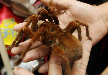 Goliath Birdeater Tarantula. One of the top ten deadliest Spiders