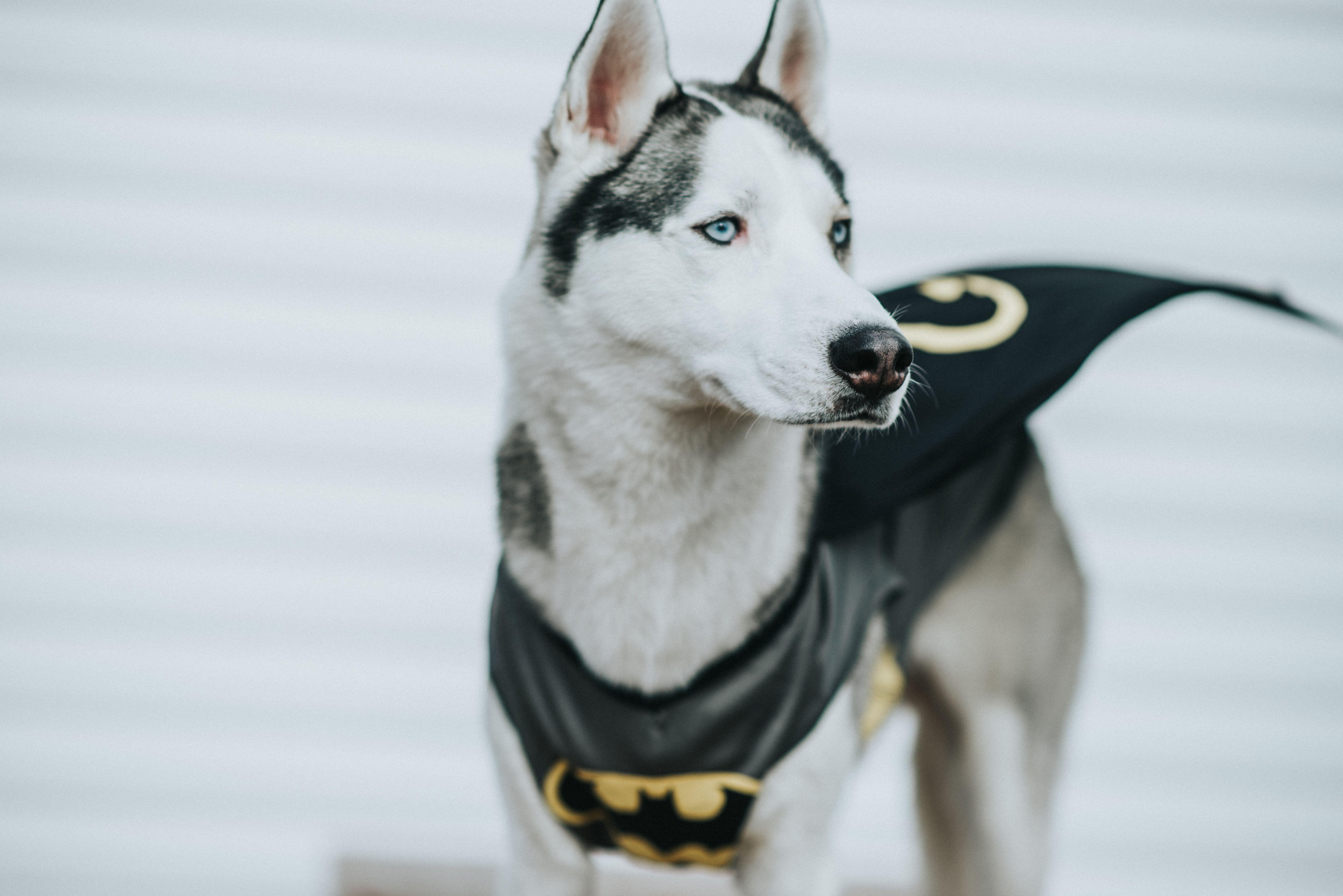 Batman Husky Halloween Costume Peteethehusky Pet Halloween