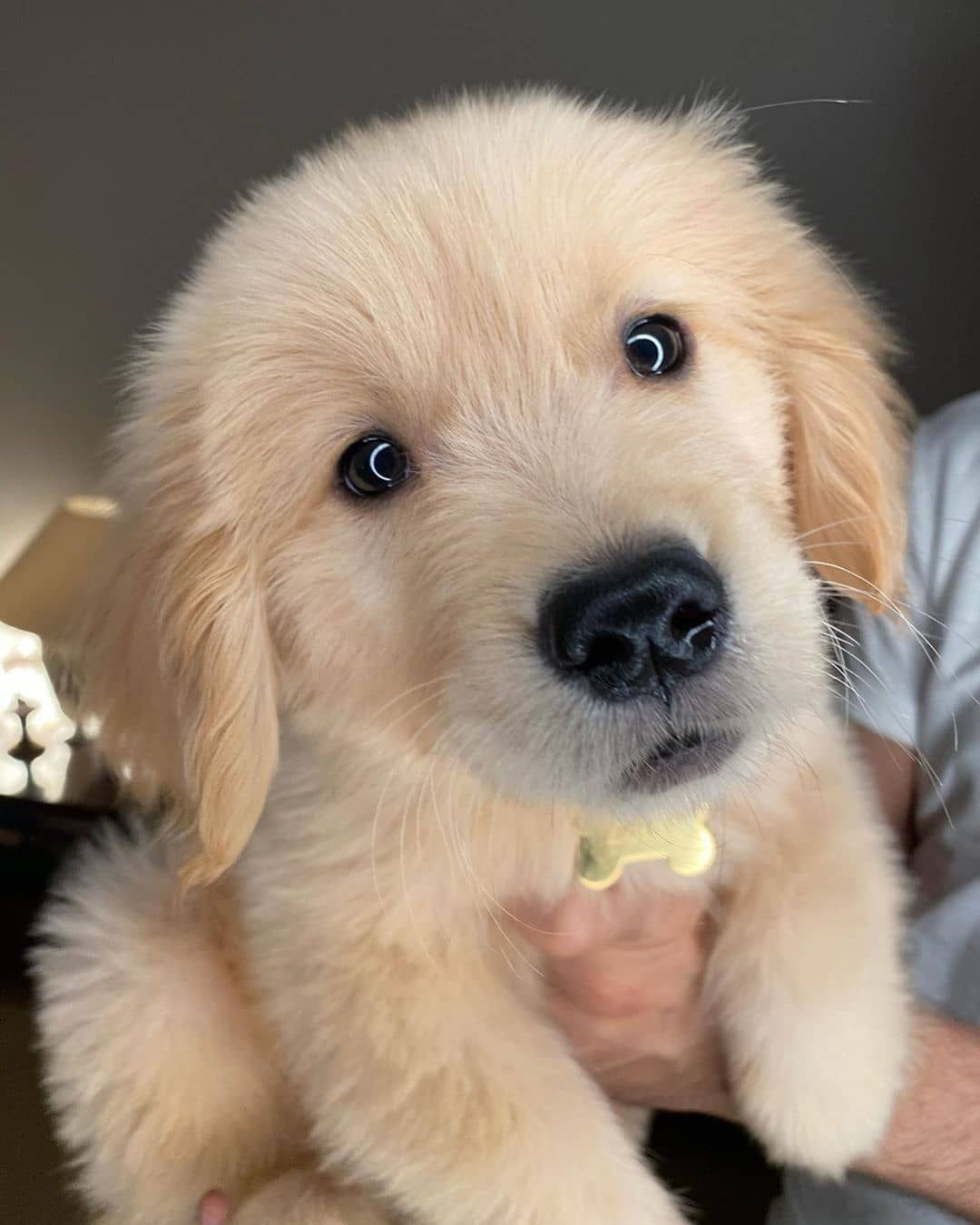 Golden Retrievers On Instagram Henlo Louiebhatia
