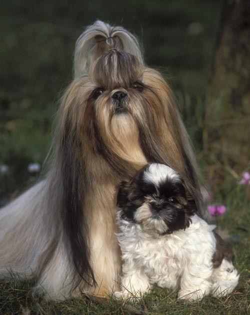 Male Shih Tzu Hairstyle Google Search Shih Tzu Labrador