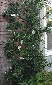Cam Se3 Camellia Sasanqua Setsugekka Espaliered Hedges Landscaping Shade Plants Hedging Plants