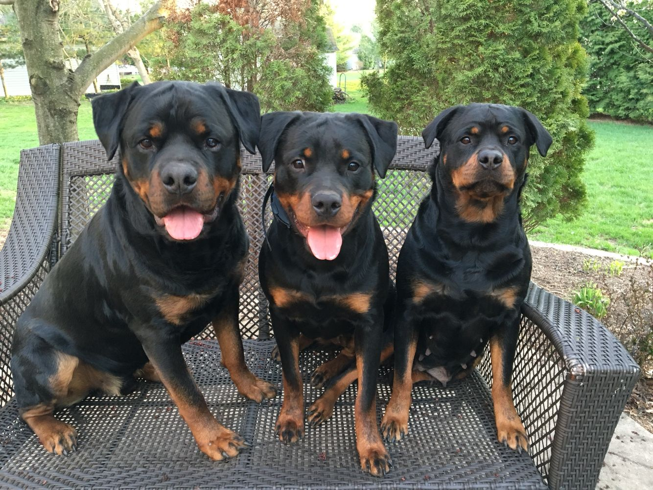 Good pups All breeds of dogs, Big dogs, Rottweiler