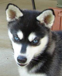 Toy Alaskan Klee Kai Mini Husky My Future Pup Alaskan Klee