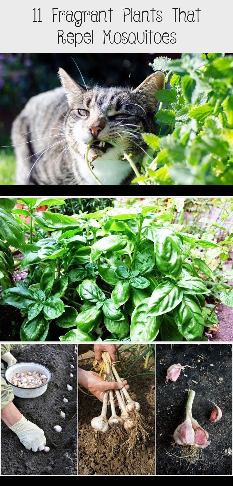 11 Fragrant Plants That Repel Mosquitoes #plantsthatrepelmosquitoes