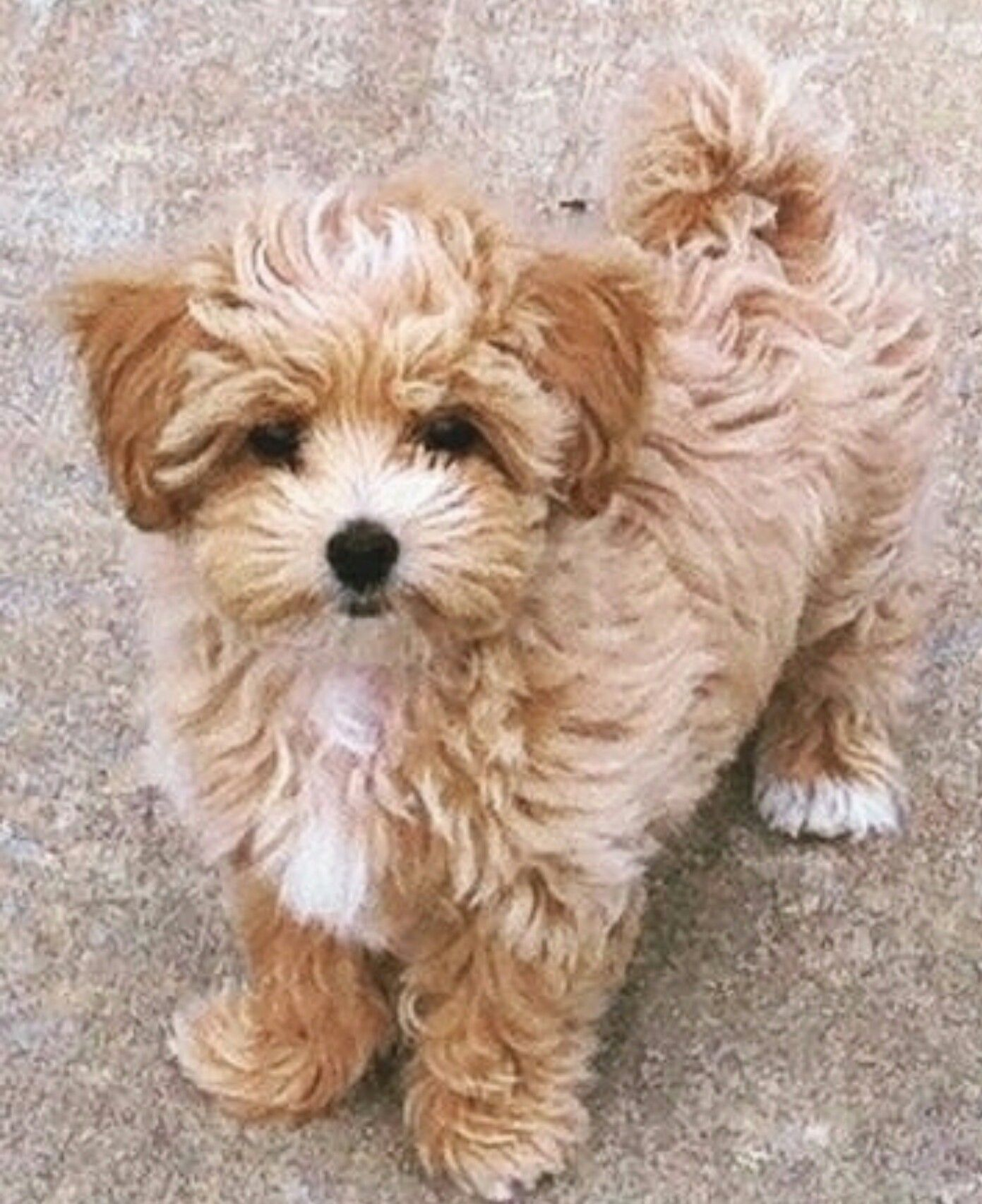 Pin By Enticing On Malti Poo Love Puppies Shih Tzu Poodle