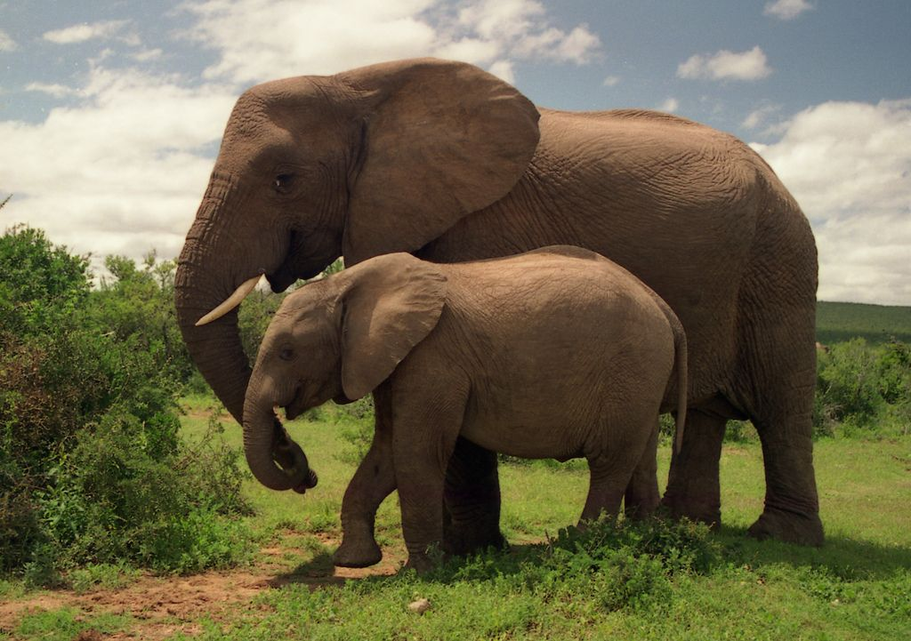Mother And Her Baby Photographed At Addo Elephant National Park South Africa