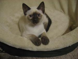 Adopt Sweet Potato On Petfinder Siamese Kittens Siamese Cats Kitten