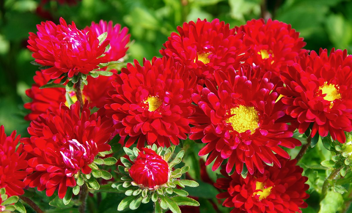 Red Asters In Judith S Garden Basket Google Search Aster Flower Flower Pots Family Flowers