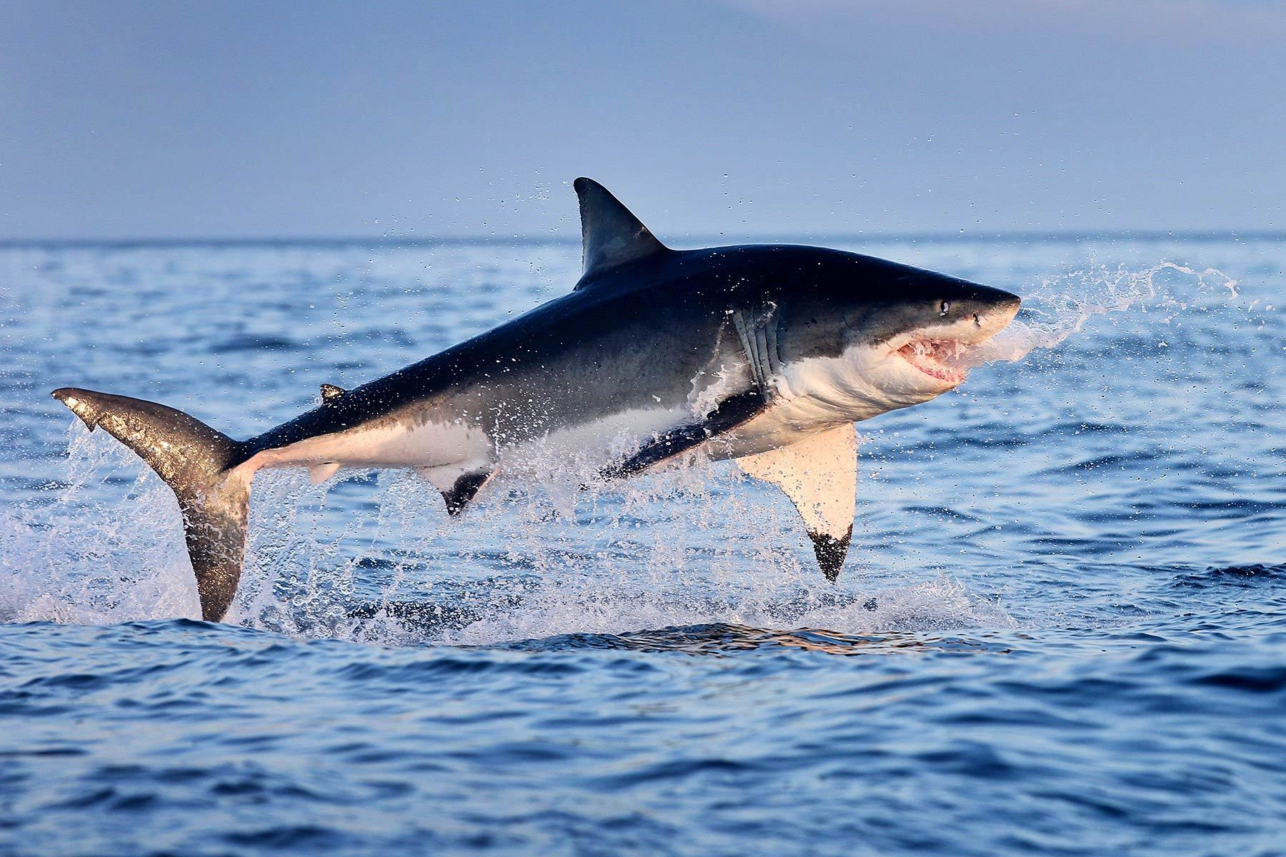 Jumping great white shark wallpaper