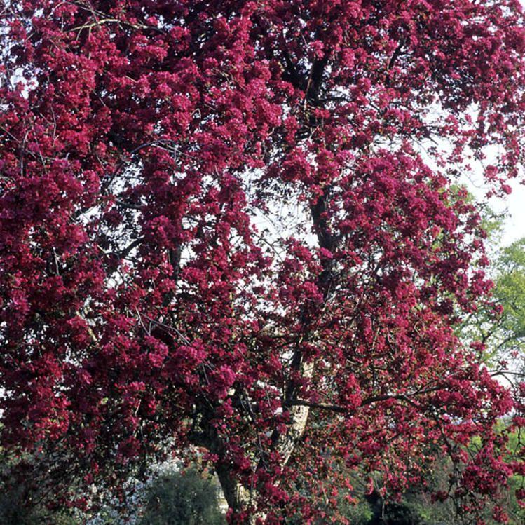 Purppuraomenapuu Royalty - Viherpeukalot