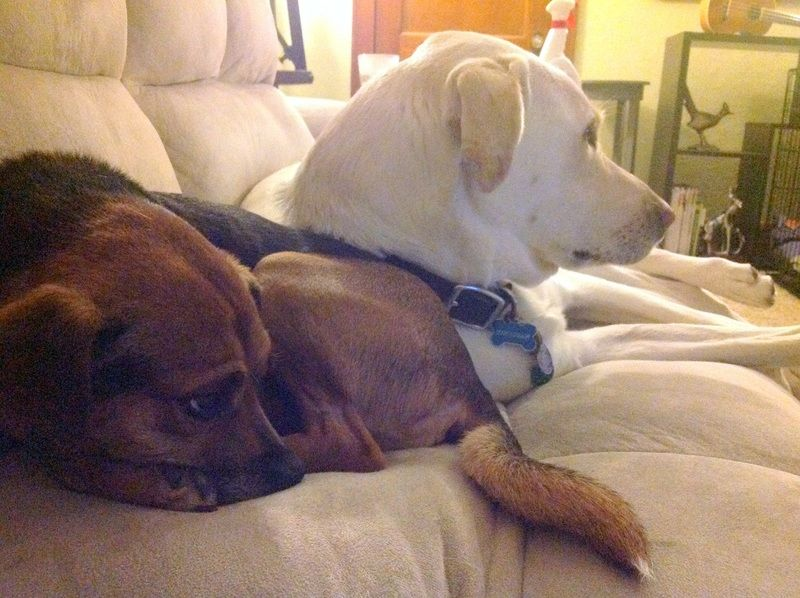 Adopt miles on petfinder dogs terrier mix dogs chihuahua