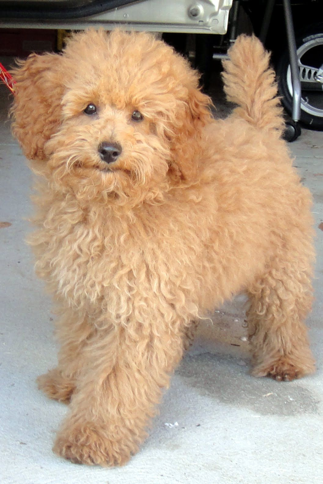 Lifesacommute The Many Hairstyle Of Poodles Toy Poodle Haircut Poodle Hair Toy Poodle