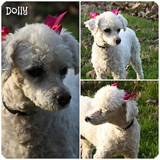 Pin By Marta Iturribarria On Adoptable Small Breeds Poodle