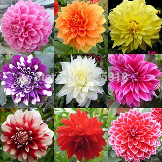 Dalia Nome Comum Da Dahlia Existem Muitas Dalias Com Feitios E Cores Diferentes Dalia Sementes De Flores Flores Bonitas