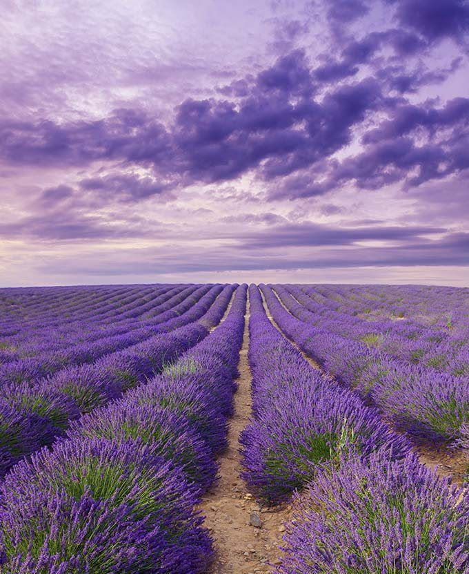 Pin by Betsy Palmer on The Color Purple | Lavender benefits