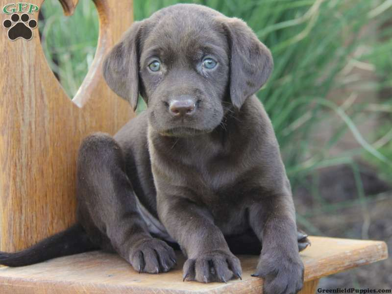 Camille Chocolate Lab Puppy For Sale From Parkesburg Pa Labrador Puppies For Sale Puppies Cute Dogs And Puppies