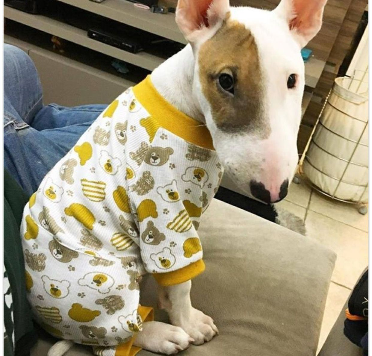 Bull Terrier Pup Wearing Pj S Bull Terrier Mini Bull Terriers