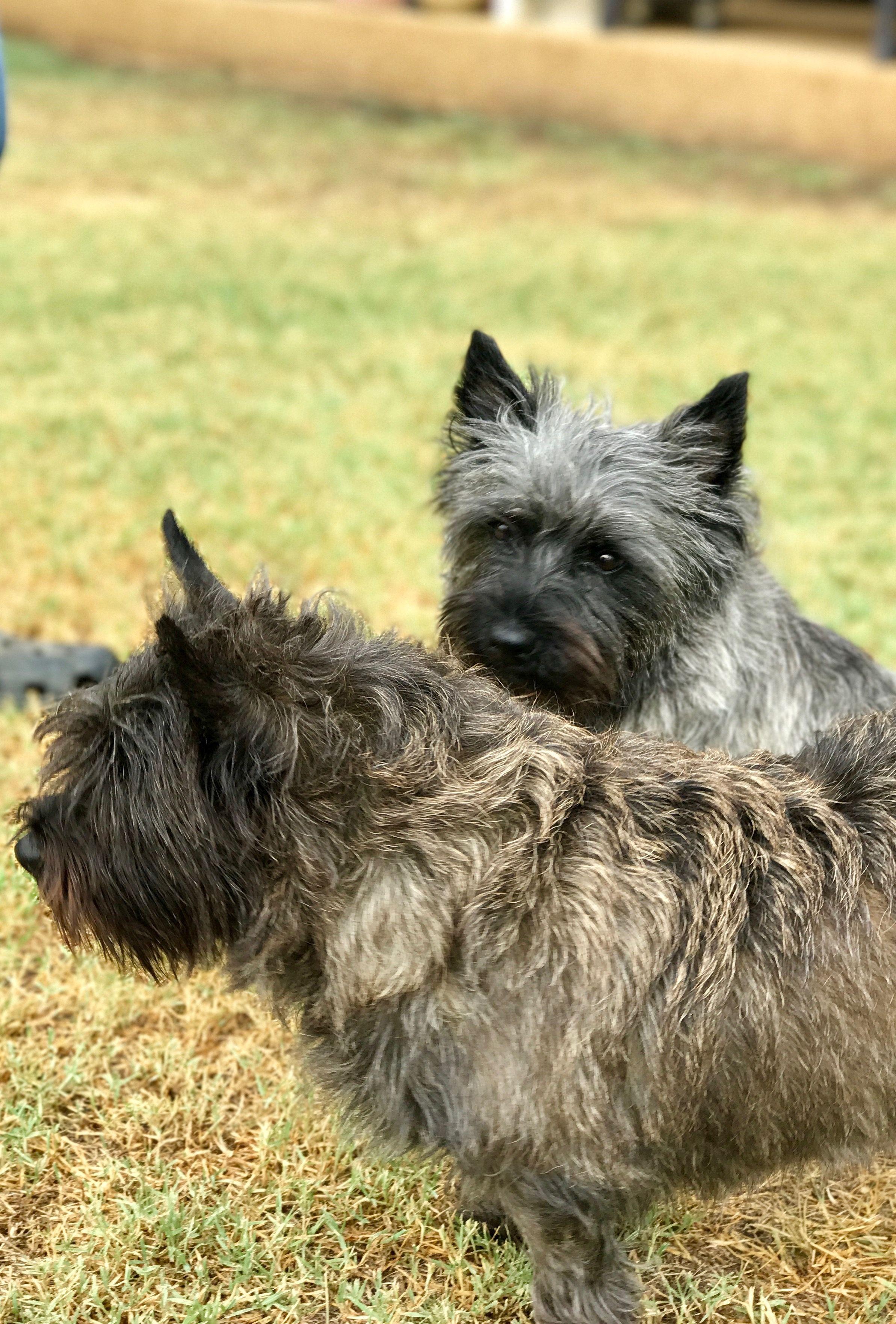 Cairn Terrier Bonnie And Reba Terrier Cairn Terrier Puppies