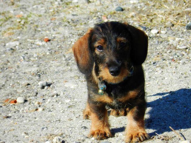 German dog puppy