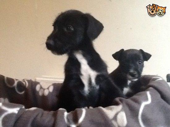 Jack Russell X Yorkie X Westie Pups Luton Bedfordshire Pets4homes Jack Russell Yorkie Westies