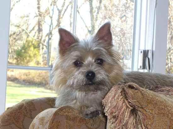Affenwich Information And Pictures Affenwich Dog Breeds Designer Dogs Breeds
