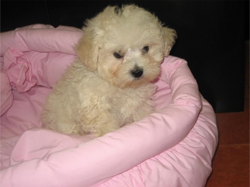 Miniature Poodle Puppies For Sale In Ny World Wide Pups Miniature Poodle Puppy Miniature Poodle Poodle Puppies For Sale