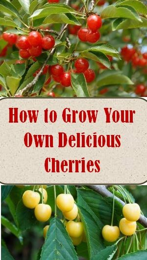 How To Grow Your Own Delicious Cherries Cherry Tree Growing Growing Cherry Trees Cold Climate Gardening Growing Fruit