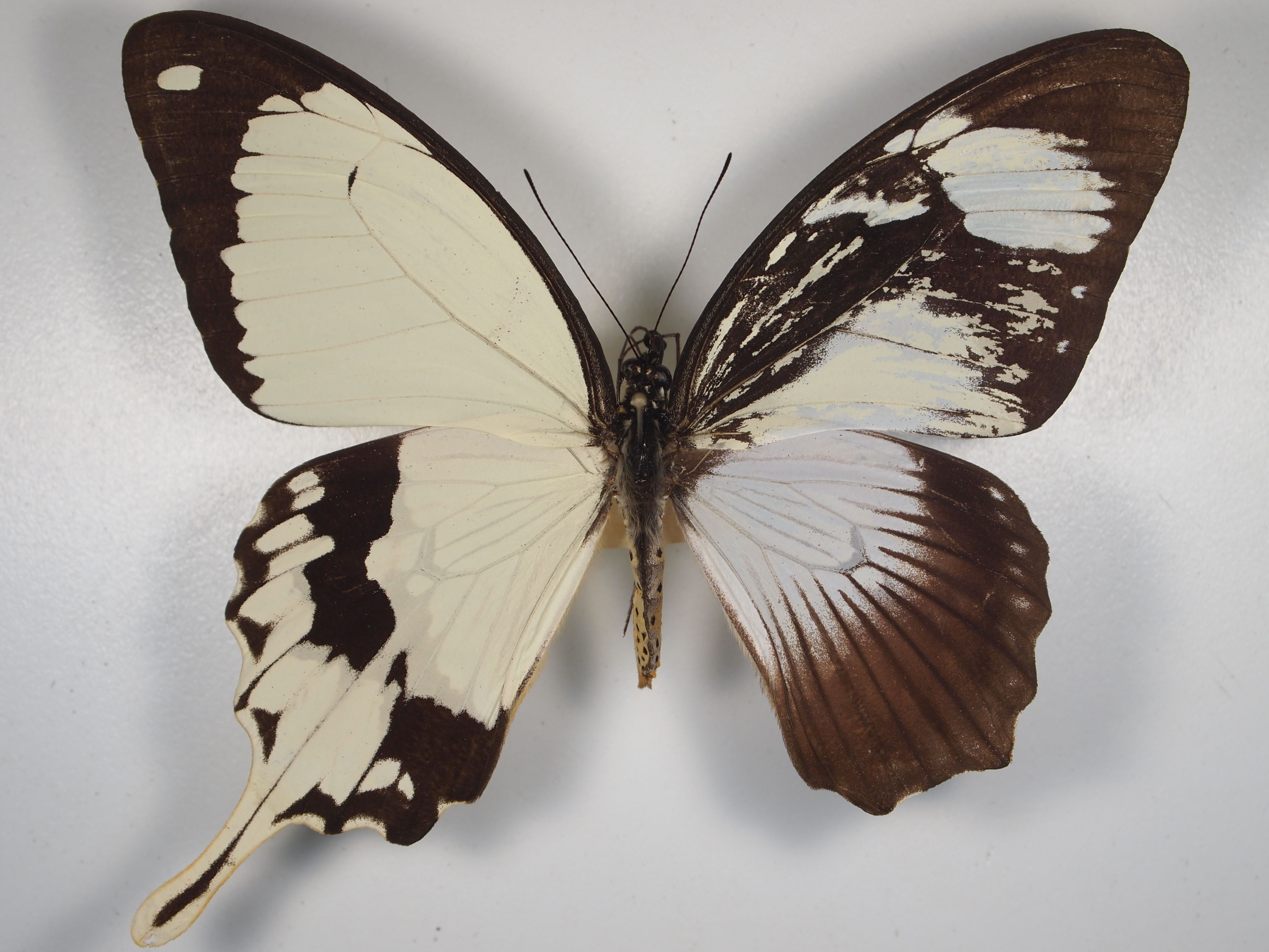asymmetrical butterfly | Bilateral gynandromorph - right hand side mostly female pattern, left ...