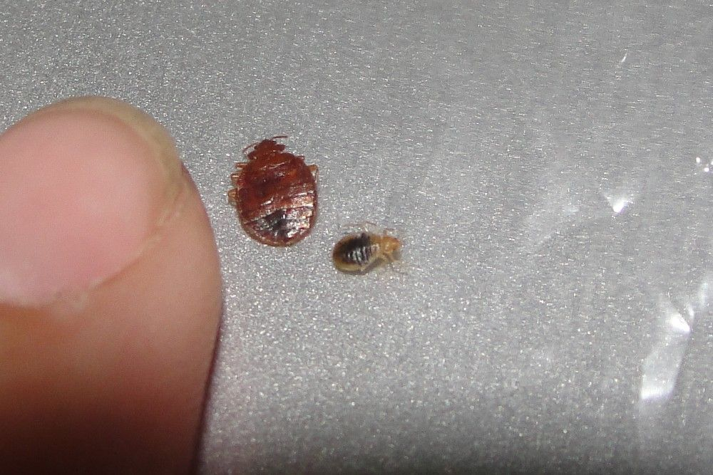 Pin by forklifttrain on bed bug bites Bed bug bites, Bed