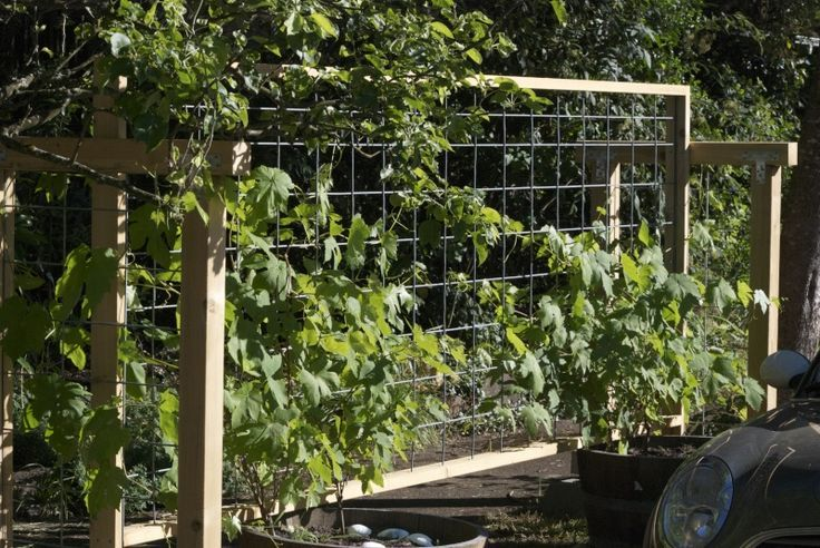 gourd trellis made with cow panels   trellis with cattle panels