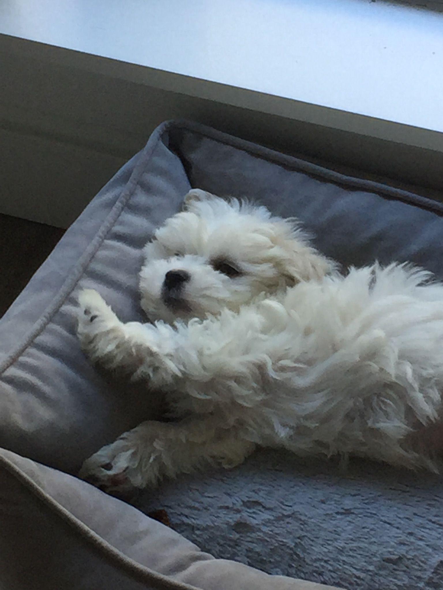 Maltese Puppy Maltese Dogs Cute Puppies Cute Animals