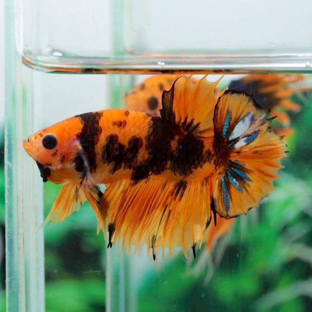 Betta Splendens Tumblr Tropical Fish Aquarium Betta Betta Fish