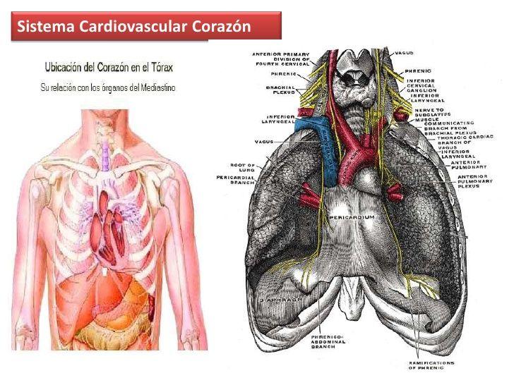 Moderno Become Capítulo 8 Anatomía Y Fisiología Modelo - Anatomía de ...