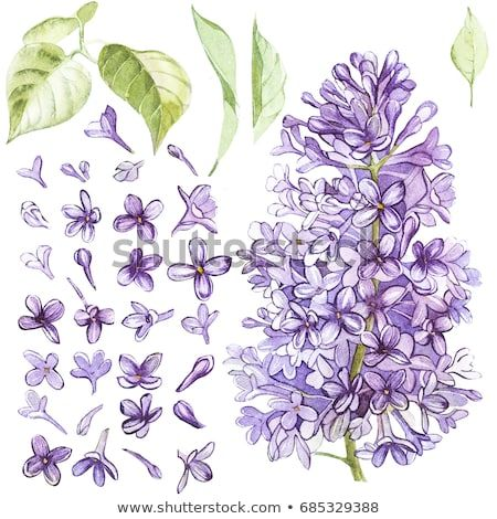 Set Of Hand Drawn Watercolor Botanical Illustration Of Lilac Element For Design Of Invitations Movie Pos Lilac Painting Botanical Illustration Flower Drawing
