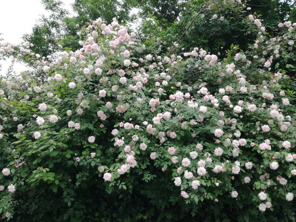 Piante Di Rose Rampicanti cascata di rose rampicanti (con immagini)   rose rampicanti
