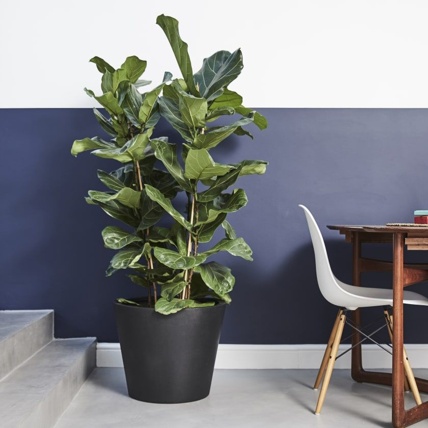 Ficus Lyrata — Plants Patch Plants, Ficus lyrata
