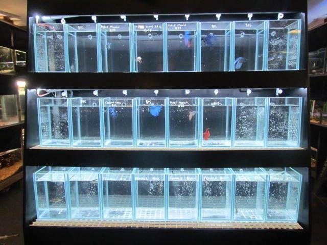 Betta Fish Tanks Betta Tank Fighter Fish Display Tank Aquarium And Reptile Online What If I Had A Whole Wall Section Of Betta Ikan Cupang Ikan Akuarium