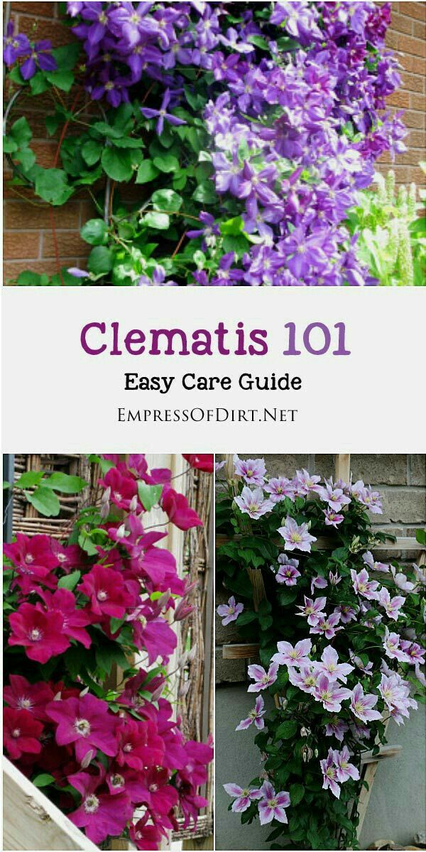 Trellis Ideas For Clematis Part - 28: Clematis 101 Easy Care Guide Clematis Is One Of The Most-loved Garden Vines  Yet Its Not Always Easy To Know When To Prune Your Vines Or Leave Them  Alone.