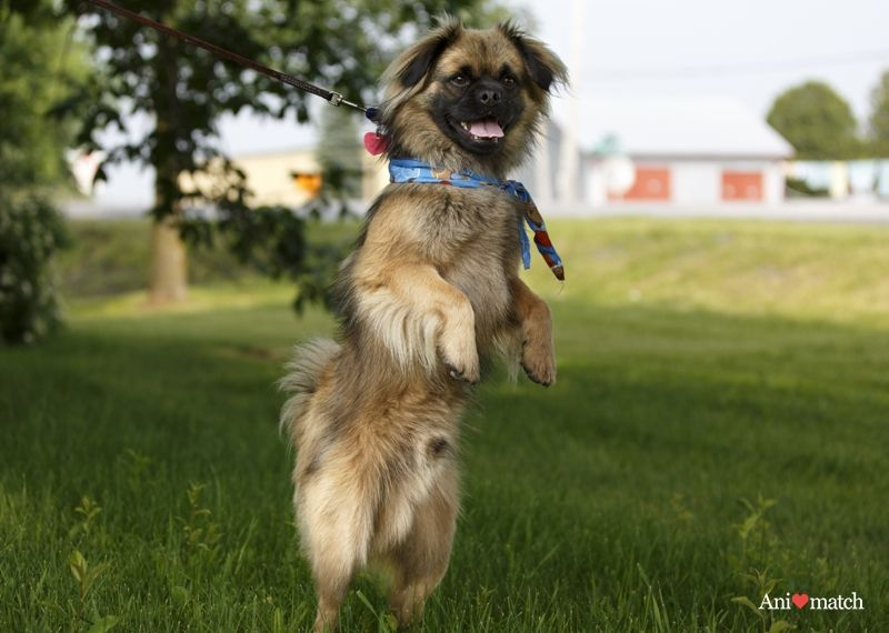 This Is Monkey A Male Tibetan Spaniel Mix I Grabbed This