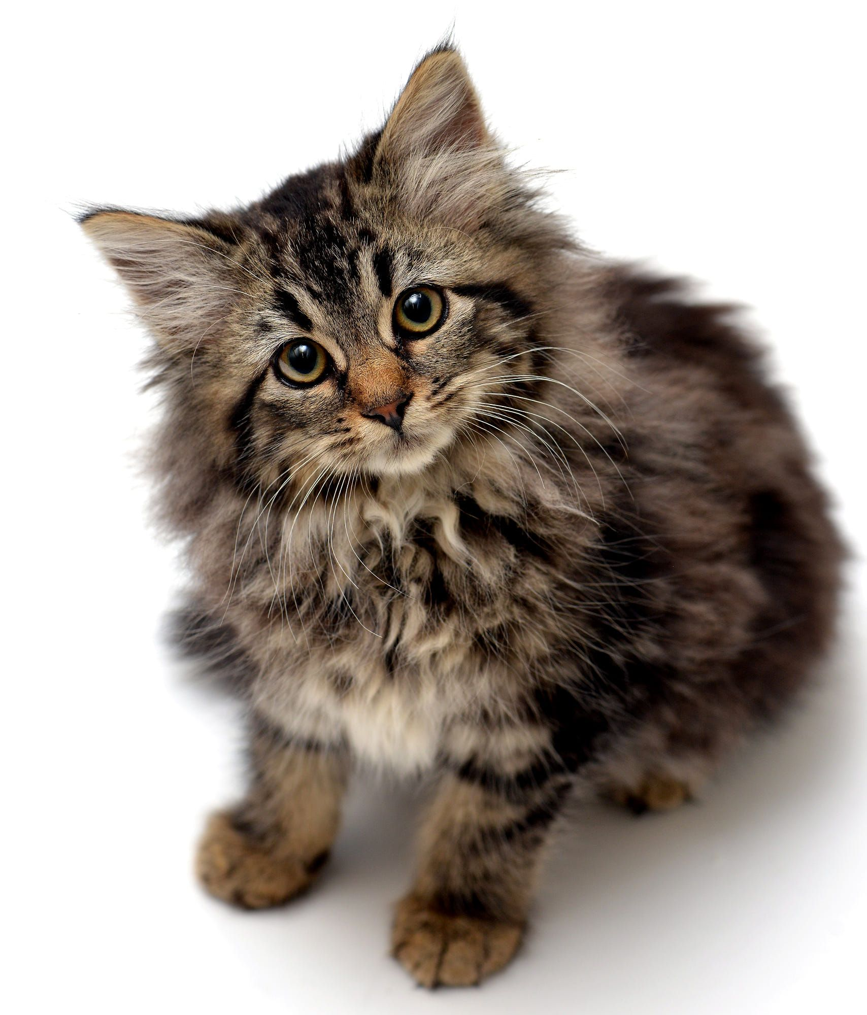 This is a longhair tabby kitten named Ginny. Russian