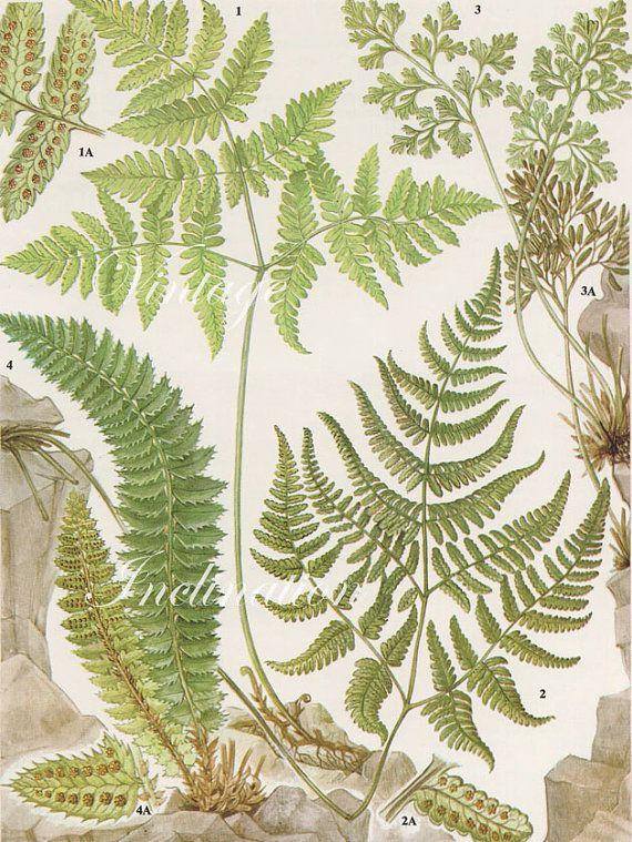 Vintage Antique Ferns Illustration Book Page Book Print Bookplate 55 Botanical Drawings Botanical Illustration Botanical Painting