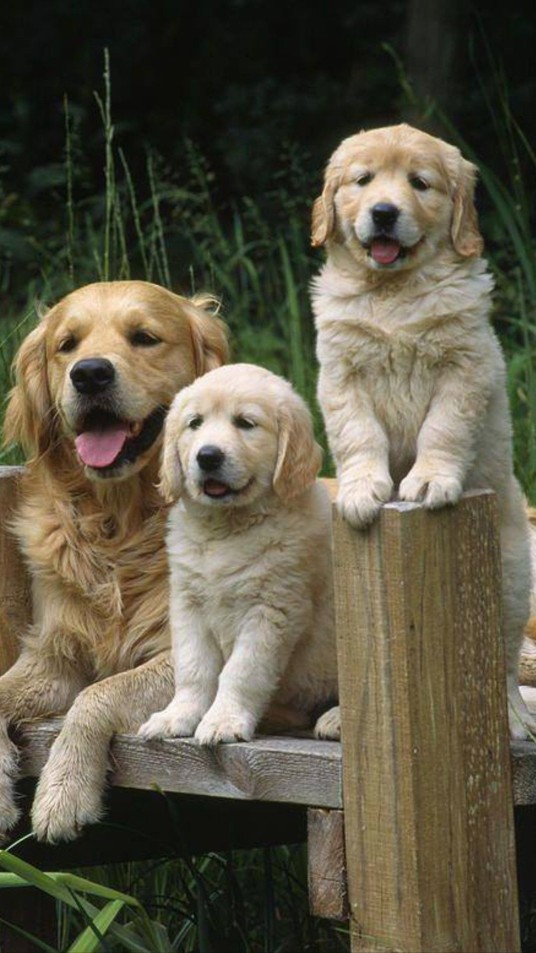 Such A Beautiful Family Dogs Golden Retriever Dogs