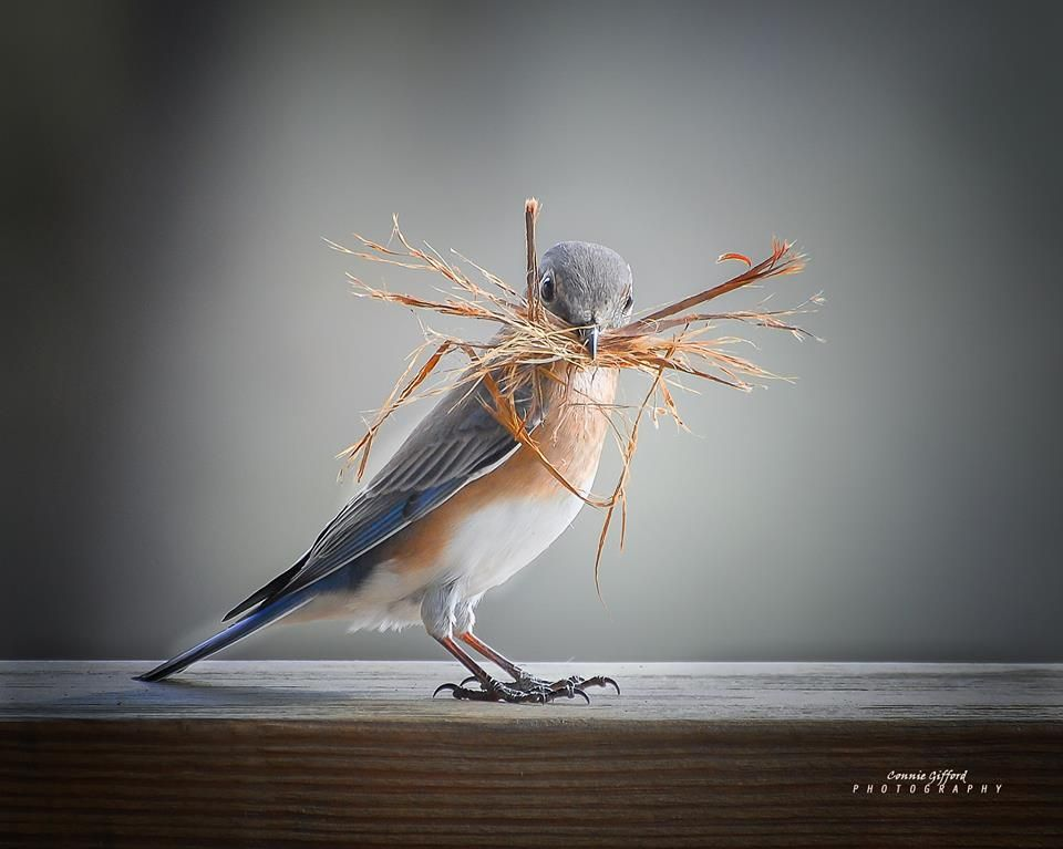 Nest preparations by an Eastern Bluebird, photo by Connie Gifford