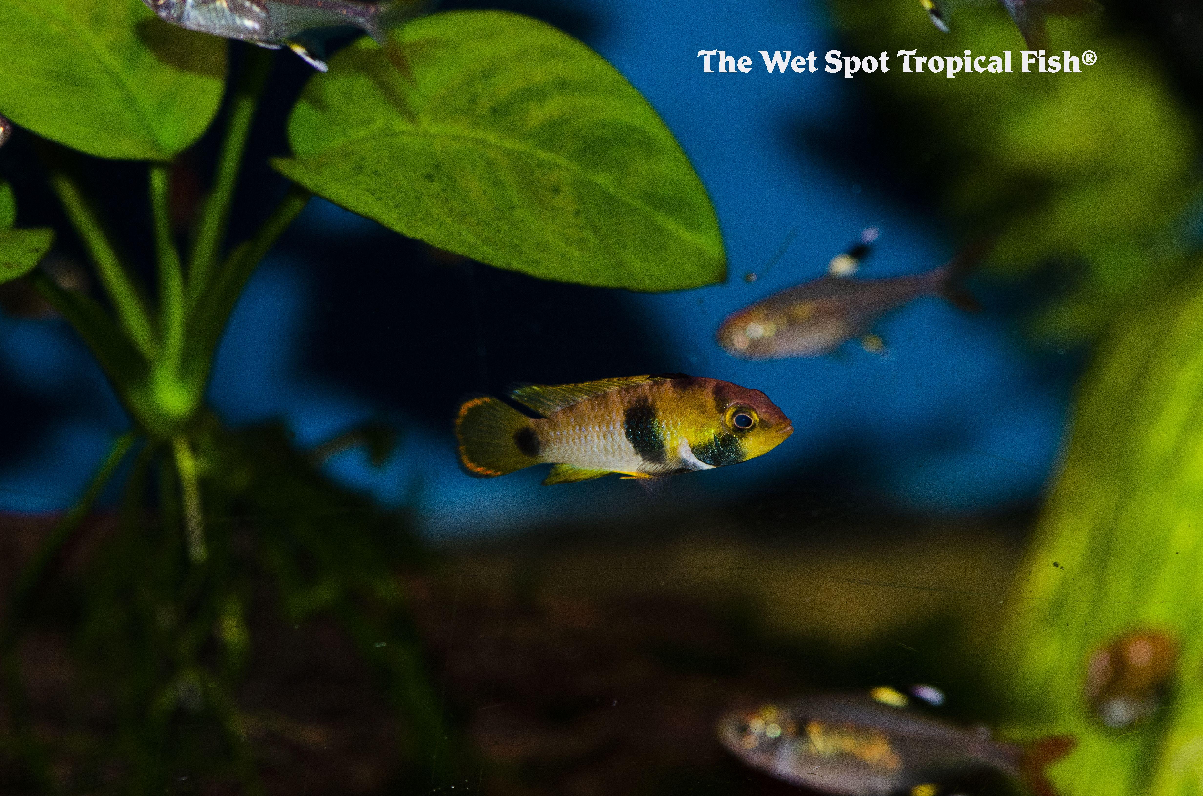 #apistogramma #fishforsale #aquariums #aquariumdesign # ...