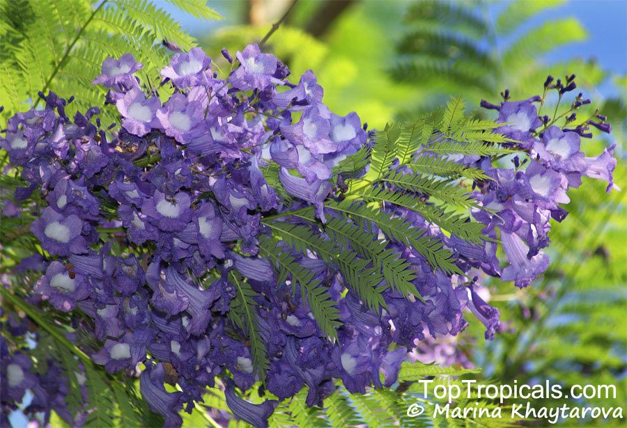 Jacaranda Cuspidifolia Deep Purple Is Grown Widely In Warm Parts Of