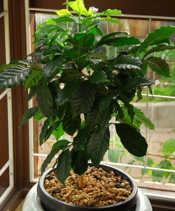 Exotische Pflanzen Der Schokoladen Apfelbaum Furs Haus Und Garten
