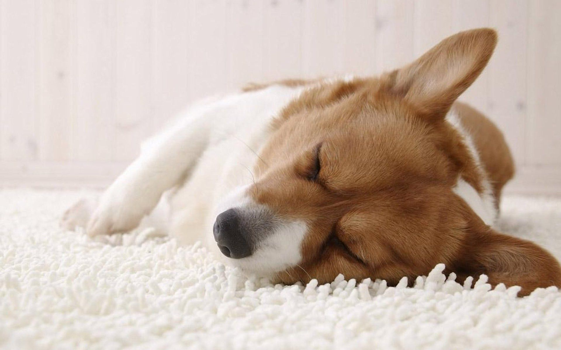 Little Cute Sleeping Corgi I Love Dogs With Short Legs Corgi Sleeping Corgi Pembroke Welsh Corgi