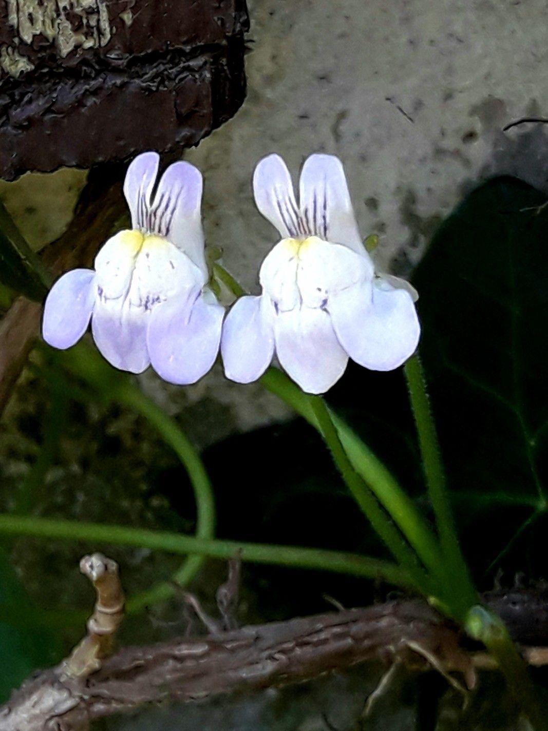 Lnica Bluszczykowata Plants