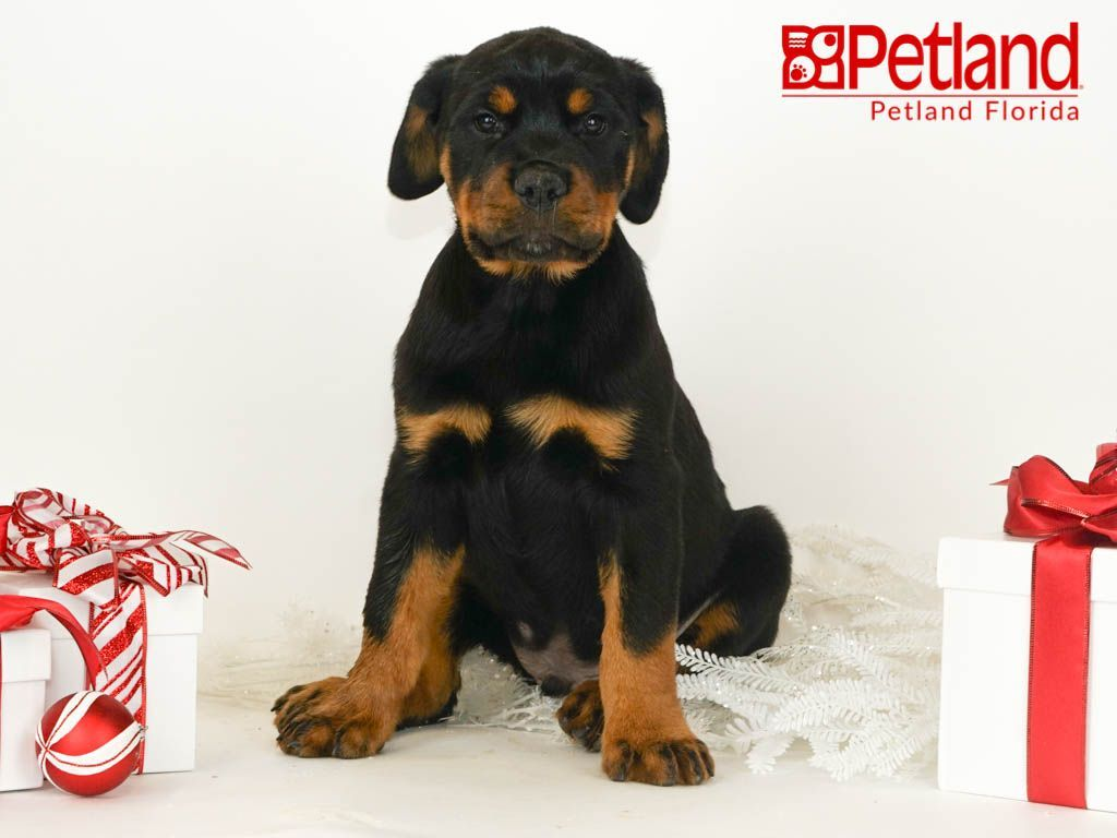 Petland Florida has Rottweiler puppies for sale! Check out